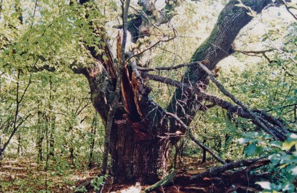 Почтовый дуб в Большом каньоне